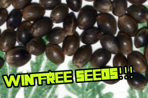 How to Win FREE Cannabis Seeds