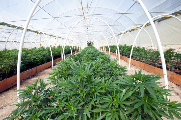 marijuana growing greenhouse photograph