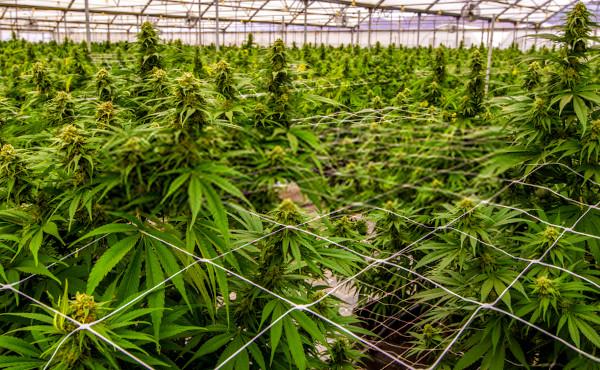 fertilizer is used to increase marijuana bud production