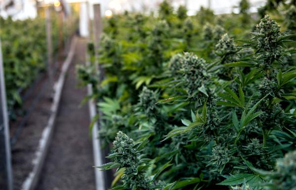 marijuana plants reaching maturity