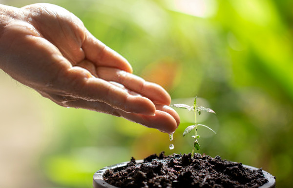 watering a marijuana plant